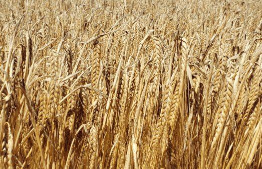 Silhouette Spring Barley